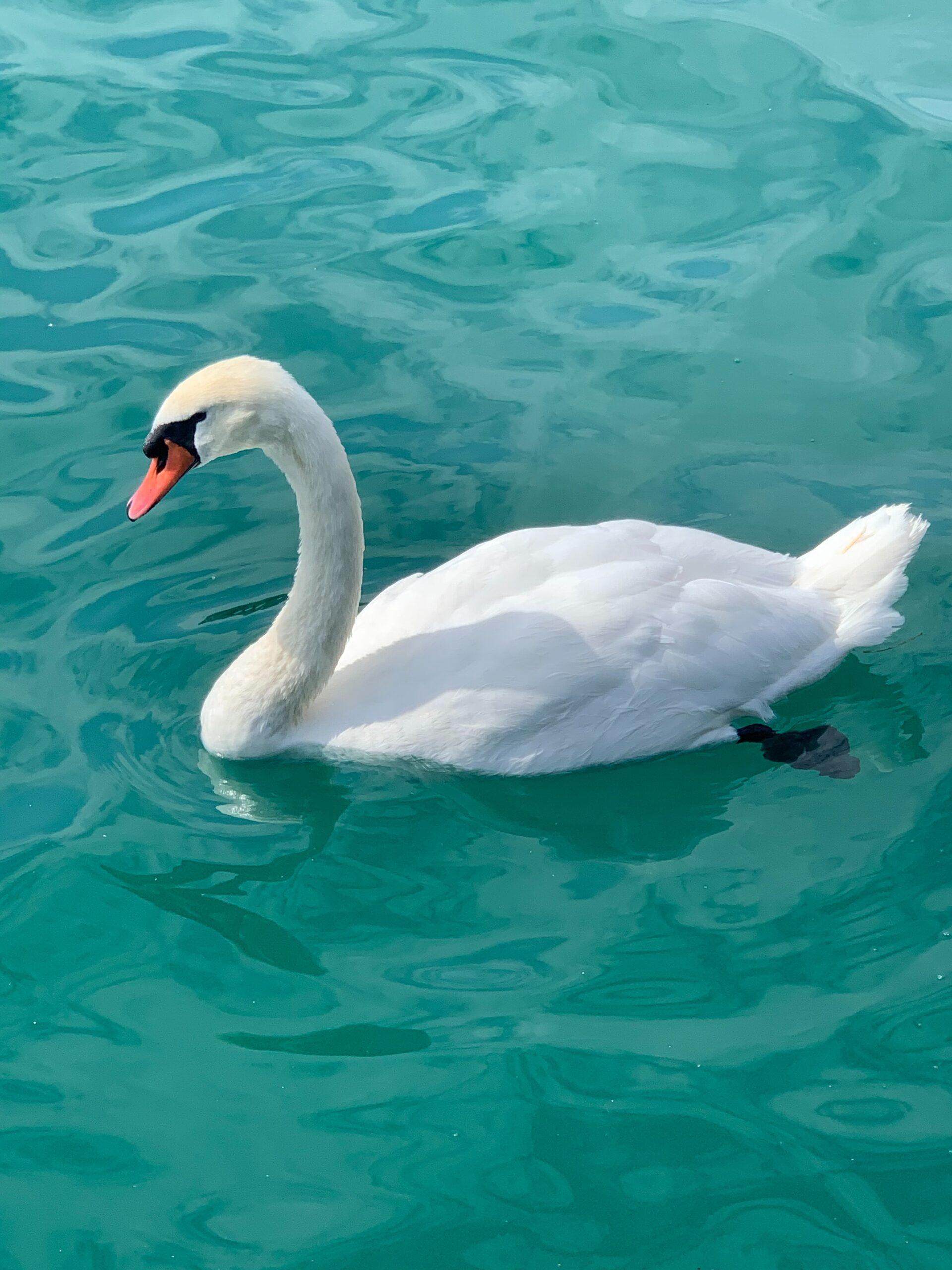Swan paddling
